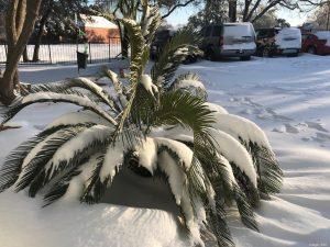 snow on palm tree